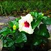 2015-09-07_DSC02714_Hibiscus,Clearwater,Fl