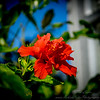 2019-02-08_ 100x300,ap,iso400,, red hibiscus,_P2080011_2