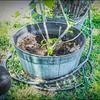 P5020025_   White Hibiscus in pott
