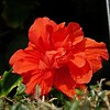 _01_red hibiscus_0302