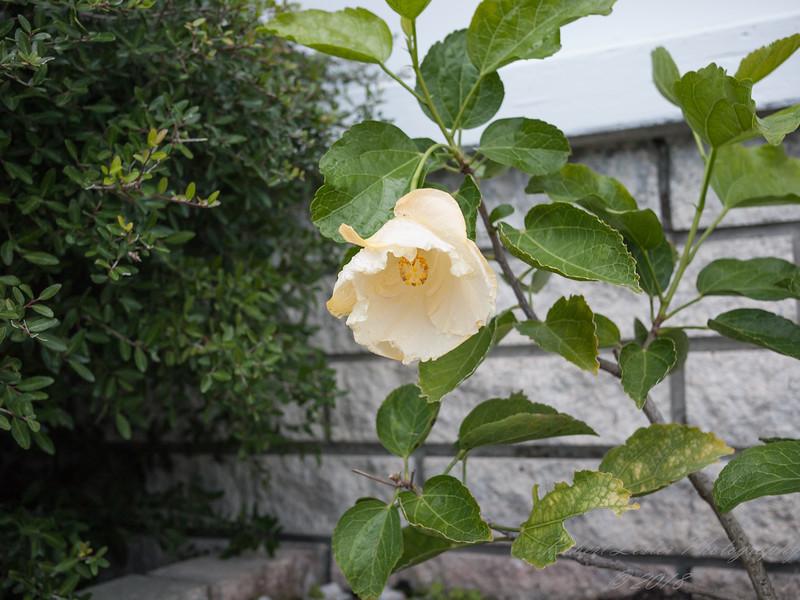 White Hibiscus    2018-01-08-0001