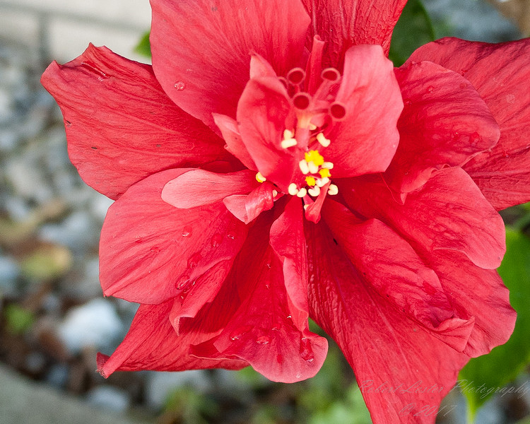 Red Hibiscus 3c all  2017-12-30-1290128