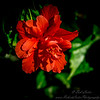 2019-02-08_ 100x300,ap,iso400,, red hibiscus,_P2080014