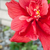 Red Hibiscus 3c all  2017-12-30-1290129