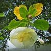 P1390831_white hibiscus