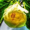 P6250008_White Hibiscus