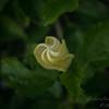 White hibiscus 2017-12-27-00307