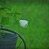 P9060003_white hibiscus