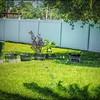P5020027_   White Hibiscus in pott