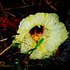 2015-09-06_DSC02690_Hibiscus,Clearwater,Fl