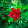 2018-12-19_PC190010_40x150 ap_ red hibiscus