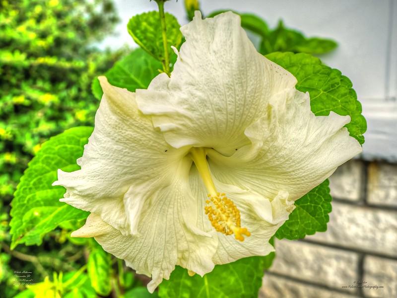 _C170005_white hibiscus_tonywarm,nr150