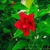 2018-12-19_PC190008_40x150 ap_ red hibiscus