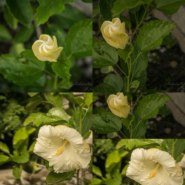 White Hibiscus 2017-12-27