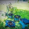 P5020020_   White Hibiscus in pott