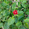 Red Hibiscus 3c all  2017-12-30-1290122