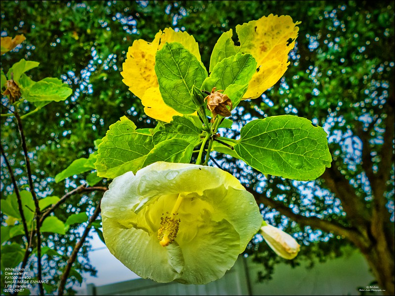 P1390831 (1)_white hibiscus