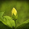 P9280011_white hibiscus