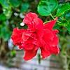 005_Red Hibiscus_2021-07-16