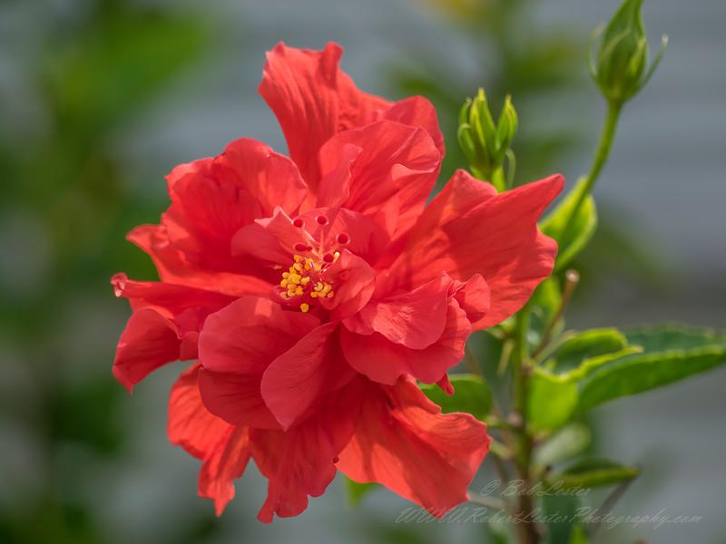 2019-05-02_m1300iso400ap hibiscus,__5020005