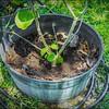 P5020021_   White Hibiscus in pott