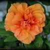 2015-10-31_PA310217 2_Orange Hibiscus,Clearwater,Fl