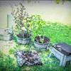 P5020023_   White Hibiscus in pott