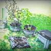 P5020022_   White Hibiscus in pott