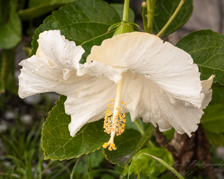 White Hibiscus,Clearwater,Fl   2017-12-28-1290015