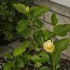 White hibiscus 2017-12-27-00317