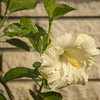 White Hibiscus, Clearwater,Fl  2017-12-27-00329