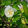 _9220007_White Hibiscus