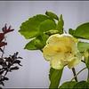 P5240087_white hibiscus