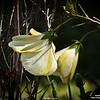 _001_ white hibiscus_20210226
