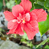 Red Hibiscus 3c all  2017-12-30-1290131