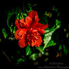 2019-02-08_ 100x300,ap,iso400,, red hibiscus,_P2080013