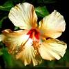 2015-01-21_P1214984_Yellow Hibiscus