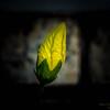 White Hibiscus-2017-11-09-097715