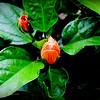 2015-09-07_DSC02711_Hibiscus,Clearwater,Fl