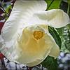 _7250019_white hibiscus
