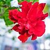 002_Red Hibiscus_2021-07-16