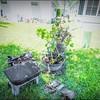 P5020024_   White Hibiscus in pott