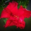 P4060004_red hibiscus