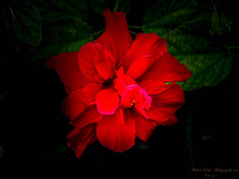 Red  Hibiscus-2017-11-09-097710