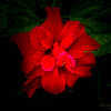 Red  Hibiscus-2017-11-09-097710