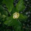 White hibiscus 2017-12-27-00310