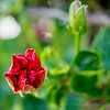 2019-03-01_pl5,12x40,iso800,ap  red hibiscus__3010015