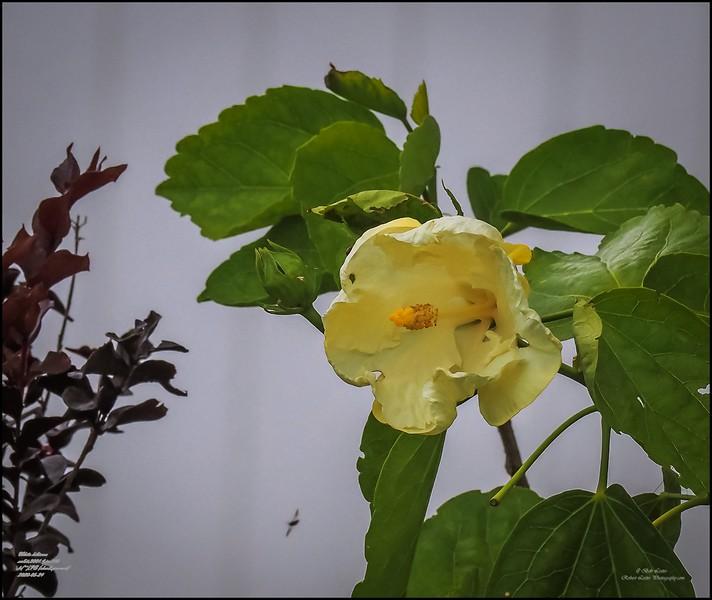 P5240063_white hibiscus