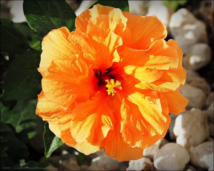 2016-03-20_P3171974_Orange Hibiscus,Clearwater,Fl