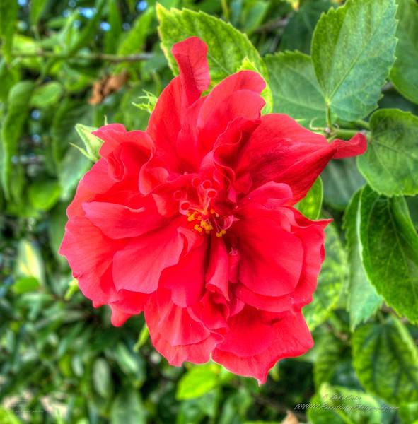 2019-10-04_1000 fzkap red hibiscus_P1380214_5_6crop